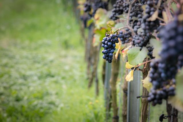 wine Pinot Noir