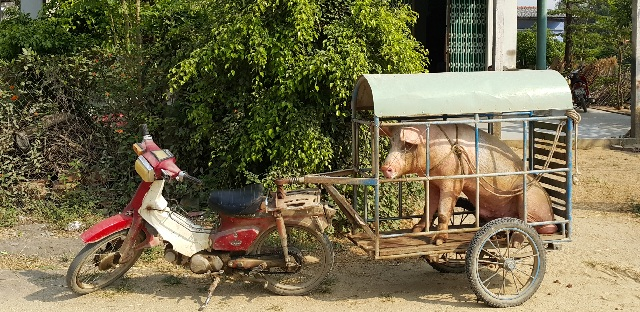 Vitnam Pig Photo
